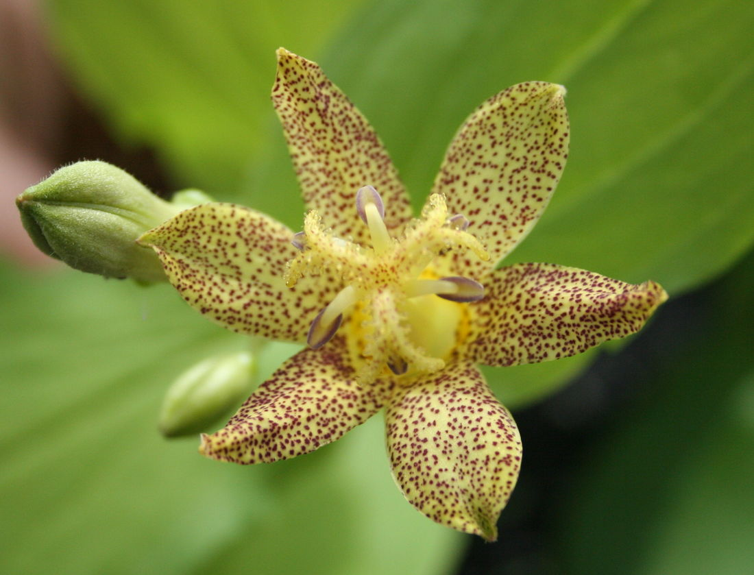 Bryan h tonkin vic rare and unusual bulbs perennials from the woodland areas of china japan and himalayas with numerous cup shaped lily like blooms per stemey are commonly known as toad lilies in izmirmasajfo